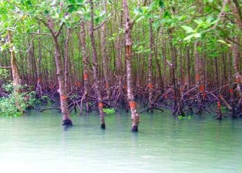 Mangroves in Phuket